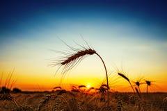 Złota uprawa w zmierzchu żniwa niebieskie niebo i pole zdjęcie royalty free