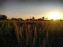 Złota uprawa - zmierzch w Indiańskim wioski gospodarstwie rolnym obrazy stock