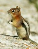 złota ziemia złota wiewiórka Zdjęcie Stock