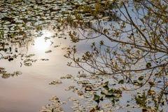 złota zmierzch łuna przeciw stawowi i lilypads w lecie fotografia royalty free