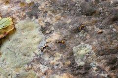 Złote cieśla mrówki, makro- widok, podąża each inny na skale w tropikalnej dżungli w El Eden z rzędu, Puerto Vallarta, Meksyk obrazy stock