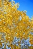 złote liście jesienią Obrazy Royalty Free