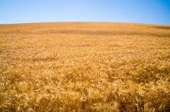 Złote trawy złoty stan Kalifornia Obraz Royalty Free