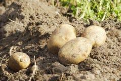 złote ziemniaki obrazy stock