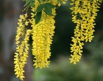 Złotego łańcuchu drzewo z długimi, wiszącymi żółtymi kwiatów gronami, Fotografia Stock