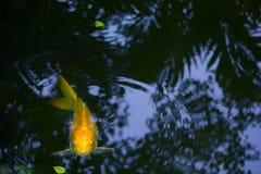 """Złotego żółtego """"Good Luck† koi karpiowy zerkanie nad woda w uroczym Tajlandzkim parku, Obraz Royalty Free"""