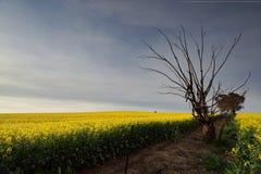 Złotego Canola wiejska ziemia uprawna Zdjęcie Royalty Free