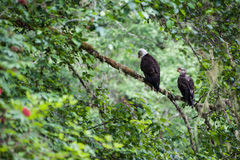 Złotego Eagle kobieta i samiec obraz stock