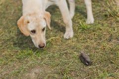 Złotego Labrador Retriever szczeniaka obwąchania Nieżywa gramocząsteczka Zdjęcie Royalty Free