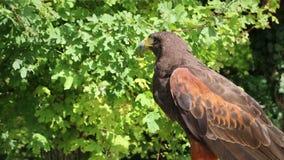 Złotego orła obsiadanie na gałąź zdjęcie wideo