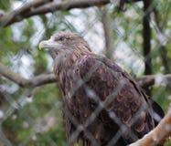 Złotego orła ptaka zakończenie w górę zwierzęcego portreta Fotografia Stock