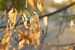 Złotej jesieni lipowy okwitnięcie Fotografia Royalty Free