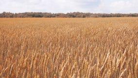 Złotej jesieni pszeniczny uprawia ziemię pole i brązu las zdjęcie wideo