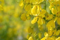 Złotej prysznic drzewo, kasi fistuła, złoty podeszczowy drzewo obraz royalty free