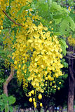 Złotej prysznic drzewo, piękny żółty kwiatu imię jest Ratchaphruek Obrazy Royalty Free