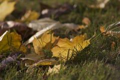 Złoto i zieleń kontrast spadek Obraz Stock