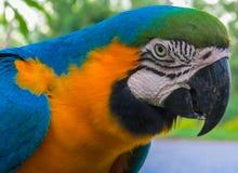 Złoto kolor żółty upierza dużej ary papugi Fotografia Royalty Free