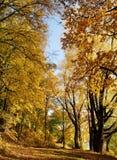 Złoto liście na drzewo jesieni krajobrazie Zdjęcia Royalty Free