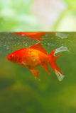 złoto ryb obrazy stock
