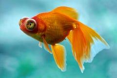 Złoto ryba zdjęcia stock