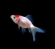 Złoto ryba na czarnym tle fotografia stock