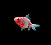 Złoto ryba z czernią na tle zdjęcie stock