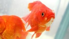 Złoto rybi patrzejący kamerę Fotografia Royalty Free