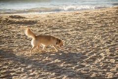 Złotobarwny pies chodzi wzdłuż plaży przy zmierzchem zdjęcia royalty free