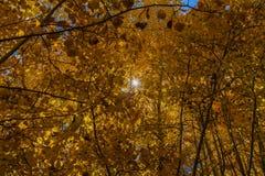 Złoty Świerkowy las z sunburst Fotografia Royalty Free