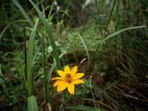 Złoty żółty kwiat z piętnem zdjęcie royalty free
