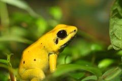 złoty żaba jad Obraz Royalty Free