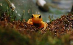 złoty żaby mantella Zdjęcia Royalty Free