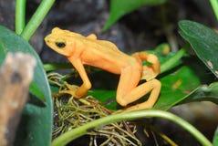 złoty arlekin żaba Obrazy Stock