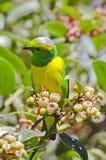 Złoty Brązowić Chlorophonia 1 (samiec) Fotografia Stock