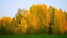 Złoty brzoza gaj przeciw lekkiemu niebu przy zmierzchem zdjęcie wideo