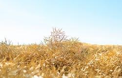 Złoty canola pole obrazy stock