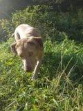 Złoty Dębny Łowiecki pies w świetle słonecznym obrazy stock
