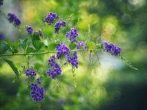 Złoty Dewdrop, Crepping nieba kwiat, Gołębia jagoda Tajlandzkimi ludźmi dzwoniącymi świeczek krople Ja jest purpurowym kwiatem Obraz Stock