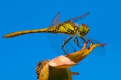 Złoty dragonfly Fotografia Royalty Free