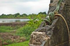Złoty drzewny wąż Zdjęcie Royalty Free
