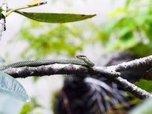 Złoty drzewny wąż. Obrazy Stock