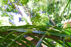 Złoty drzewny wąż Zdjęcie Stock