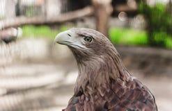 Złoty Eagle przy zoo, zakończenie, dzicy ptaki, Rosja zdjęcie royalty free