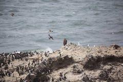 Złoty i łysy orzeł z seabirds Fotografia Royalty Free