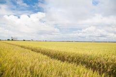 Złoty irlandczyków ryż pole Obrazy Stock