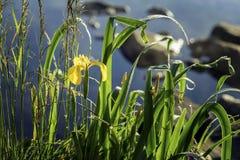 Złoty irys, wczesny poranek, Dziki kwiat Lato jezioro, staw, świt, pierwszy promienie słońce Sezony, ekologia, piękno dziki zdjęcia royalty free