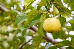 Złoty jabłko na drzewie obrazy stock