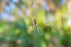 Złoty Jedwabniczy pająk Je obiad na Nieszczęsnym Dragonfly Zdjęcie Royalty Free
