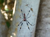 Złoty jedwabniczy pająk - Nephila clavipes zdjęcie royalty free