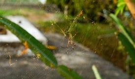 Złoty jedwabniczy tkacza pająk na spiderweb w Panama obrazy stock